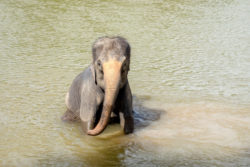 Baby elephant bathing in the river, Kanchanaburi, Thailand